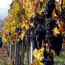 Geheimtipp: der Wein aus der Region um Bratislava